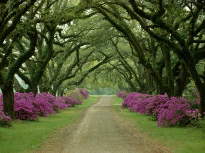Purple trees of Scottland - by Sam Abell
